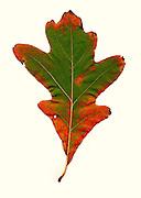 fall leaf, southeastern Ohio, underside of the leaf, white oak