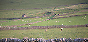 Upland landscape with dry stone walls and grazing sheep, Peak District national park, near Castleton, Derbyshire, England