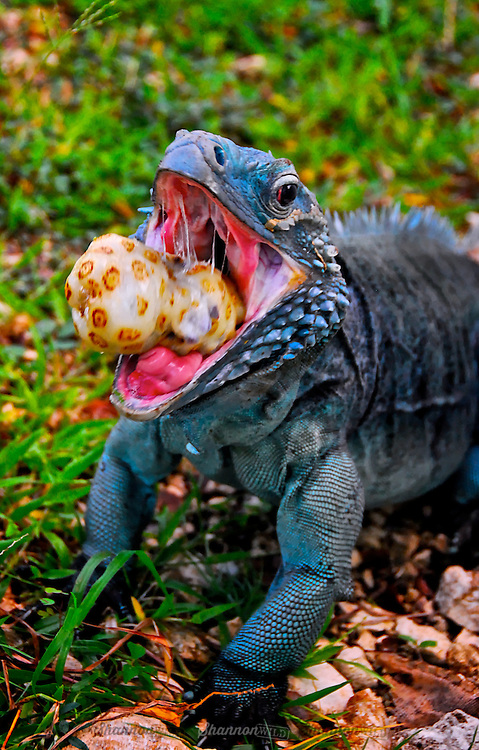 The  Grand Cayman Blue Iguana (Cyclura lewisi) is a critically endangered species of lizard endemic to the island of Grand Cayman.  It is the largest native land animal on Grand Cayman with a total nose-to-tail length of 5 ft (1.5 m) and weighing as much as 30 lb (14 kg).  This male is eating a favorite treat of Noni fruit.