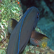 Doctorfish have dark area extending from base of pictoral fin outward along leading edge; picture taken Key Largo.