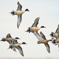 courtship flight, wings spread, turning way, northern pintail ducks