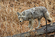 Coyote walking on downed log in habitat