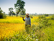27 FEBRUARY 2015 - PONHEA LEU, KANDAL, CAMBODIA:  A woman carries her hoe through a rice field during the rice harvest in Kandal province, Cambodia. Kandal province is an agricultural province north of Phnom Penh.   PHOTO BY JACK KURTZ