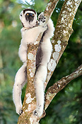 Verreaux's sifaka (Propithecus verreauxi) from Nahampoana Private Reserve, Madagascar