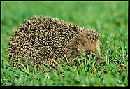 03: MISCELLANY HEDGEHOG, ROWS, OTTERS