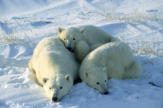 Polar Bear, (Ursus maritimus) Portrait of mother and cub resting. Hudson Bay. Churchill, Manitoba. Canada.