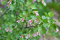 The wax currant, also known as the squaw currant, is found accross most of western North America in drier, more arid habitats such as sagebrush steppe or talus slopes. This one was photographed in Cowiche Canyon just outside of Yakima, WA.