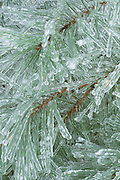 Ice-covered pine branches, winter, North Carolina