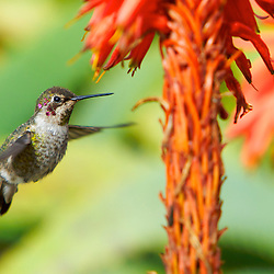 Female Allen's Hummingbird (selasphorus sasin) in Laguna Beach, CA.
