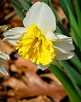 Daffodil. Image taken with a Fuji X-H1 camera and 200 mm f/2 OIS lens and 1.4x teleconverter (ISO 200, 280 mm, f/11, 1/340 sec).