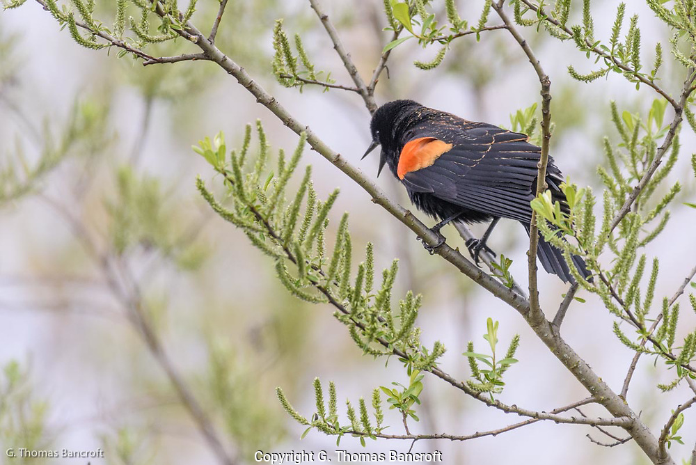 A male Red-winged Blackbird gives its harsh song to declare it owns this section of the marsh.