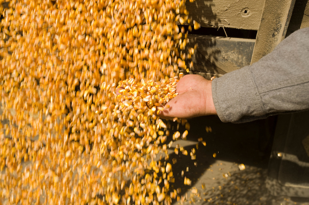 Hand in corn flowing from machinery
