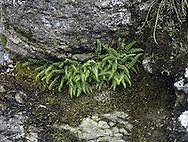 Green Spleenwort - Asplenium viride
