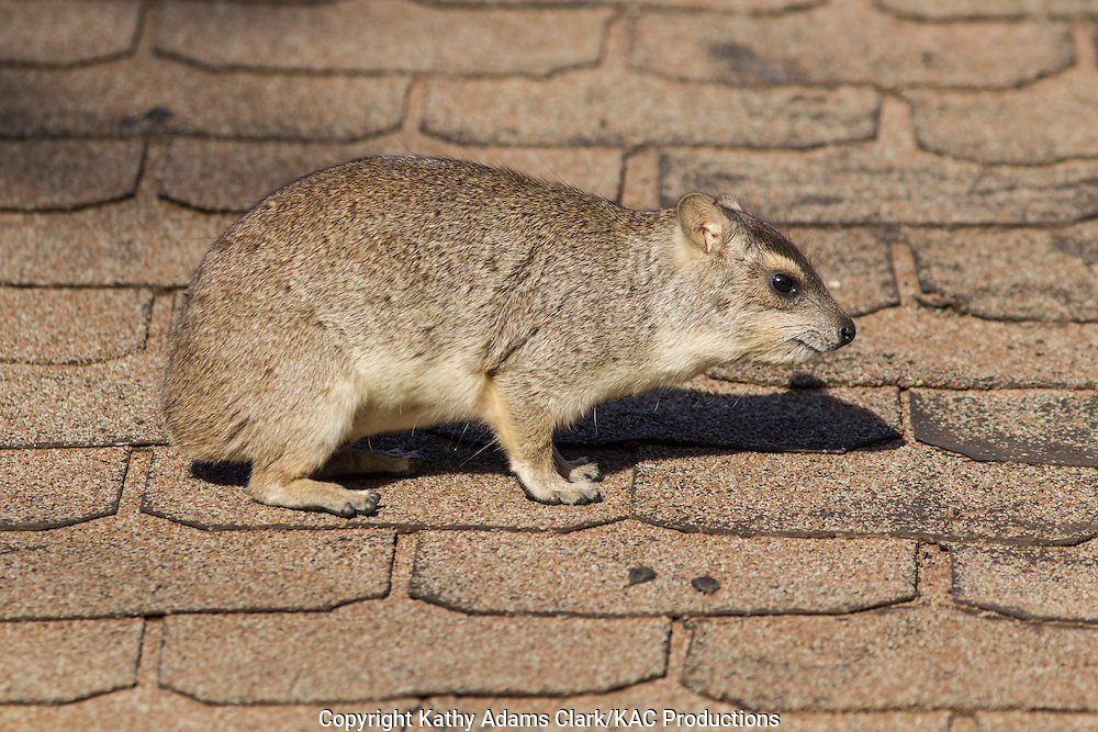 Rock hyrax, Procaia capensis, Tarangire National Park, Manyara Region, Tanzania, Africa.