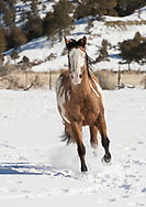 Tri-colored dun Paint horse running in fresh snow towards camera, © 2009 David A. Ponton, [Prints to 8x12, 16x24, 24x36 or 40x60 in. with no cropping]