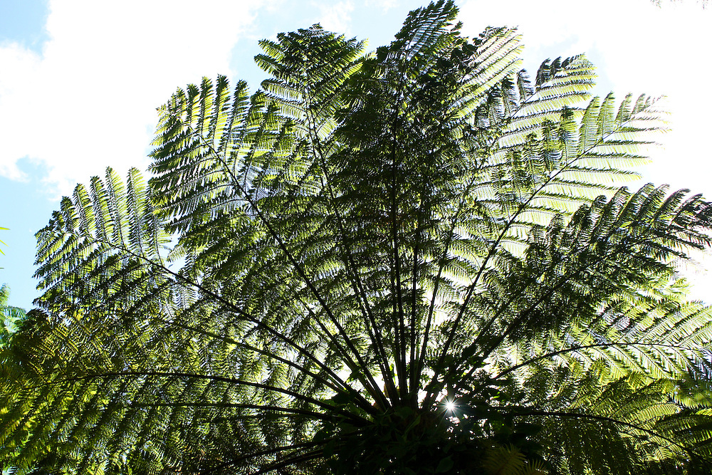 Giant fern tree in Lyon Arboretum, Honolulu, Hawaii