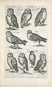 Owls 17th-century artwork. This artwork is from 'Historiae naturalis de quadrupetibus' (1657) by Polish scholar and physician John Jonston (1603-1675).