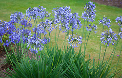 Agapanthus 'Castle of Mey'. African lily