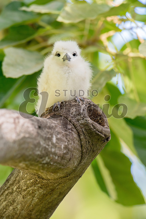 White tern chick. The white tern (Gygis alba), or manu-o-Ku in Hawaiian, is the official bird of Honolulu. Photographed in Honolulu, Hawaii.