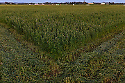 Rows of cut lucerne on farm near Maitland, NSW, Australia