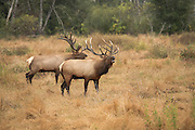 Bull Elk bugling with second Bull elk behind