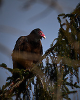 Turkey Vulture in a pine tree on a windy winter day. Image taken with a Fuji X-T2 camera and 100-400 mm OIS telephoto zoom lens (ISO 200, 400 mm, f/5.6, 1/1500 sec).