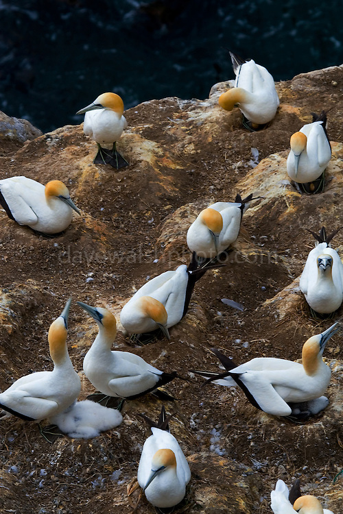 Gannet Colony, Otakamiro Point, Muriwai Beach, Northland, New Zealand