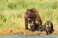Brown bear (Ursus arctos) cub reaches for salmon scraps from its mother's mouth along Geographic Creek at Geographic Harbor in Katmai National Park in Southwestern Alaska. Summer. Afternoon.