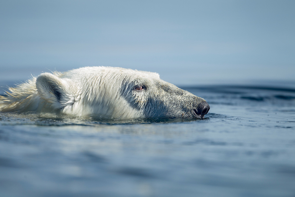 Canada, Nunavut Territory, Arviat, Polar Bear (Ursus maritimus) swimming on foggy morning near Sentry Island along Hudson Bay