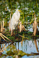 Arthur J Marshall National Wildlife Reserve - Loxahatchee, Florida, USA. Great Blue Heron (White morph), (Ardea herodias) The white morph is found from Southern Florida to the Caribean   Photo: Peter Llewellyn