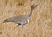 Male of Buff-crested Bustard, Eupodotis gindiana, from Samburu NP, Kenya.