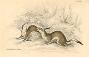 Stoat (Mustela erminea), member of the Weasel family.  Native of Asia, North America and Europe. In colder parts of its range the animals have a white winter coat with black tail tip, the source of the fur Ermine.  From 'British Quadrupeds', W MacGillivray, (Edinburgh, 1828), one of the volumes in William Jardine's Naturalist's Library series. Hand-coloured engraving.