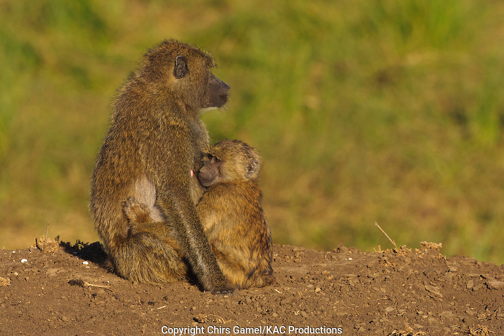 Two olive baboons, juvenile baboon hugging its mother.