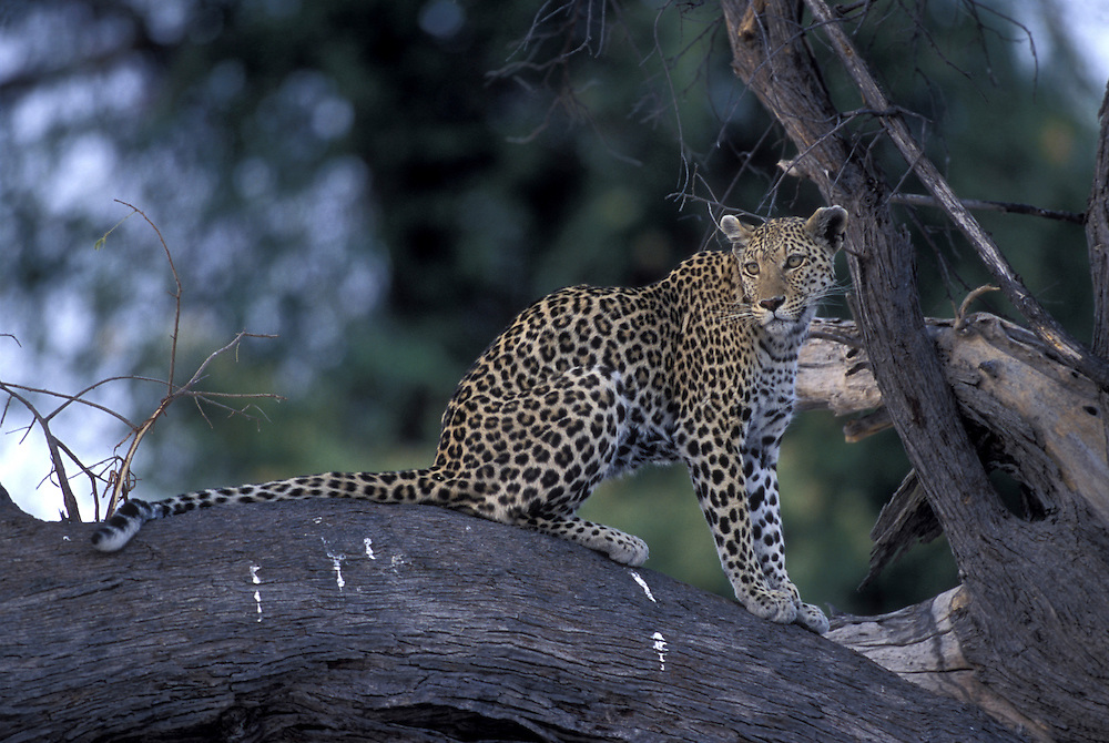 Botswana, Moremi Game Reserve, Adult Female Leopard (Panthera pardus) lit by setting sun while resting on tree limb