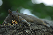 Squirrel done eating and now laying on his belly on a tree branch in Ithaca, NY.