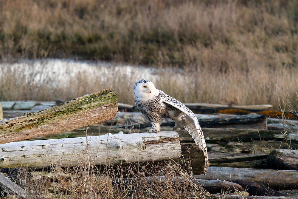 A Snowy Owl (Bubo scandiacus) stretching before flight at Boundary Bay in Delta, British Columbia, Canada
