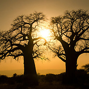 The sunset frames a pair of baobab trees at Tarangire National Park in northern Tanzania not far from Ngorongoro Crater and the Serengeti.