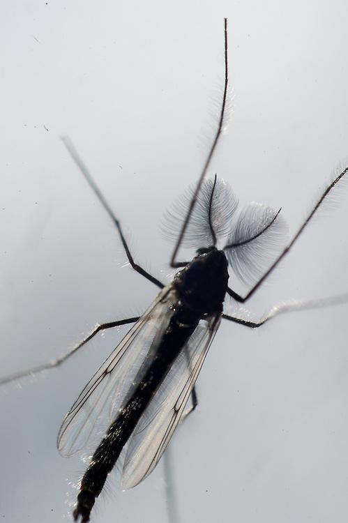 A midge fly