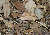 Large Maple Spanworm Moth, Prochoerodes lineola;<br /> Photographer:  Miles Phillips<br /> Property:  Coleto Creek Reservoir / GDF Suez - Coleto Creek Power <br /> Goliad /Victoria Counties