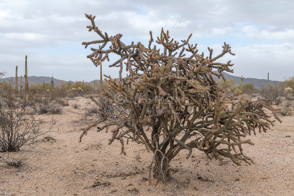 Staghorn Cholla (Cylindropuntia versicolor) from Organ Pipe Cactus National Monument, southern Arizona.