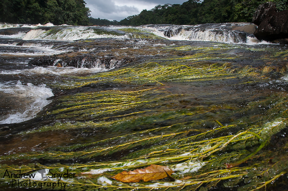 Aquatic plants above the waterfall. Potaro River, Guyana.