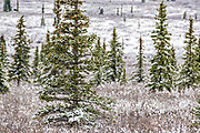 An early season snow across the boreal forests at sunset in Denali National Park, McKinley Park, Alaska