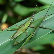 Atractomorpha crenulata, katydids mating