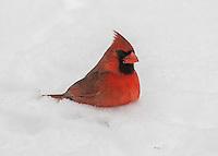 Cardinal Chest Deep in Snow