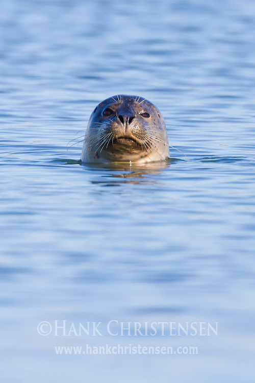 A harbor seal pokes its head above the water