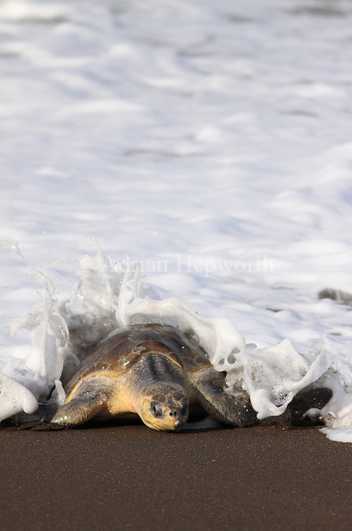 Female Olive Ridley Turtle (Lepidochelys olivacea) coming ashore to lay eggs during an arribada. Playa Ostional, Guanacaste, Costa Rica. <br /> <br /> For pricing click on ADD TO CART (above). We accept payments via PayPal.
