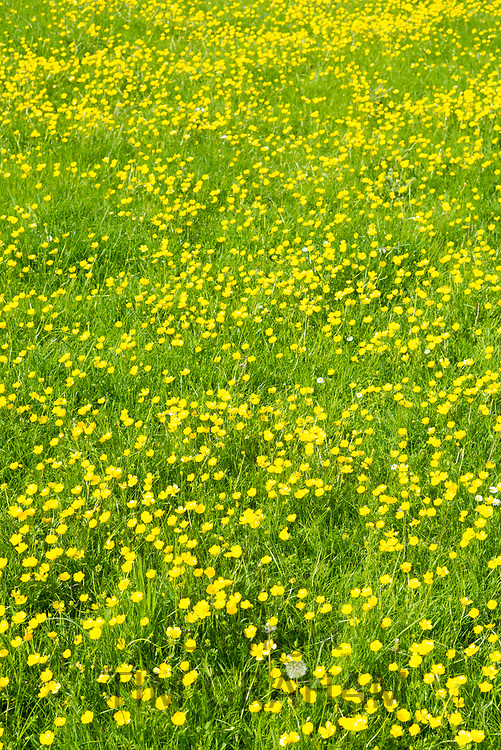 Close up spring and summer buttercups - Ranunculus - in meadow  in Swinbrook, in The Cotswolds, England, UK