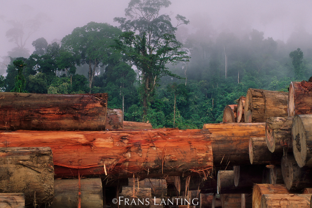 Stacked logs in tropical rainforest, Sabah, Borneo