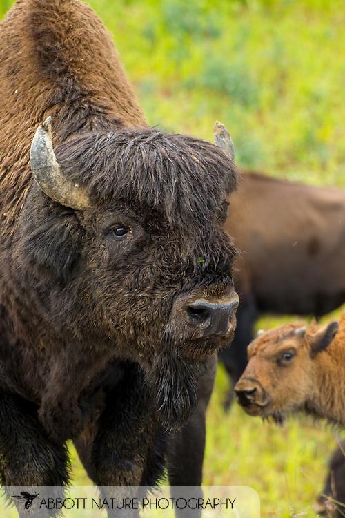 Wood Bison, Mountain Bison, Wood Buffalo or Mountain Buffalo (Bison bison athabascae)<br /> CANADA: British Columbia (Stikine Region)<br /> along Alaska Highway<br /> 18-July-2012<br /> J.C. Abbott &amp; K.K. Abbott