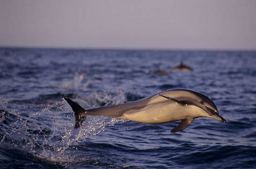 Common Dolphin, (Delphinus delphis) Jumping. Sea of Cortez. Baja, Mexico.